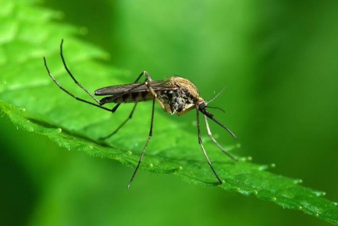 Чем питаются комары?