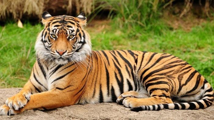 Все ли вы знаете о тиграх?