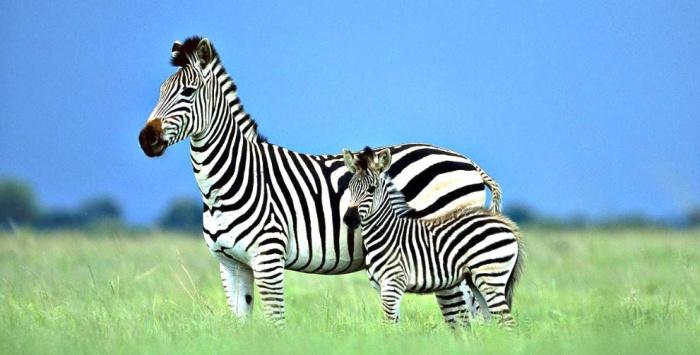 Почему зебра полосатая и сколько у нее полосок
