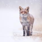 В Москве спасли лису, которую несло по реке на отколовшейся льдине