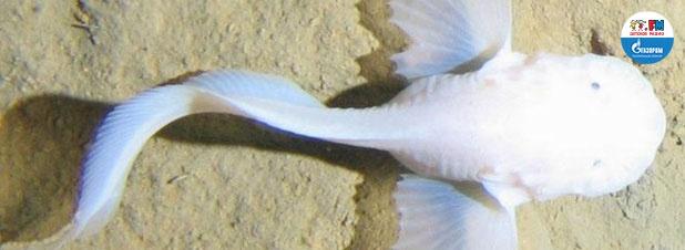 Самая глубоководная рыба