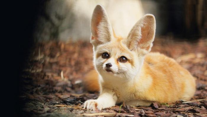 Где обитают миниатюрные лисички?