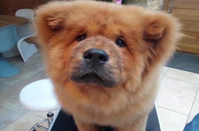 Пушистый нарушитель: В Британии полиция арестовала щенка чау-чау за плохое поведение