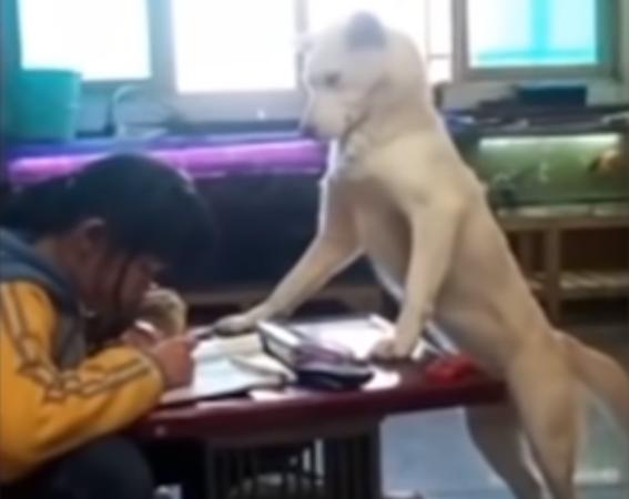 В Китае собака-учитель научилась следить за школьницей, чтобы та делала уроки
