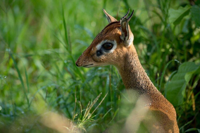 В Московском зоопарке родился детёныш редкой миниатюрной антилопы дикдик