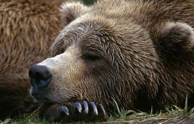 Почему медведи впадают в спячку