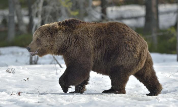 В Канаде рейнджер сняла милое видео с пробуждением медведя гризли после спячки