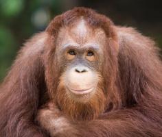 Как правильно мыть руки, знают даже обезьяны. Уроки гигиены проводит орангутан из Флориды