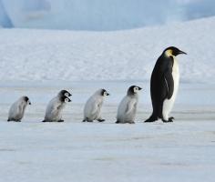 Пингвины московского океанариума вышли на прогулку. Познакомились с соседями