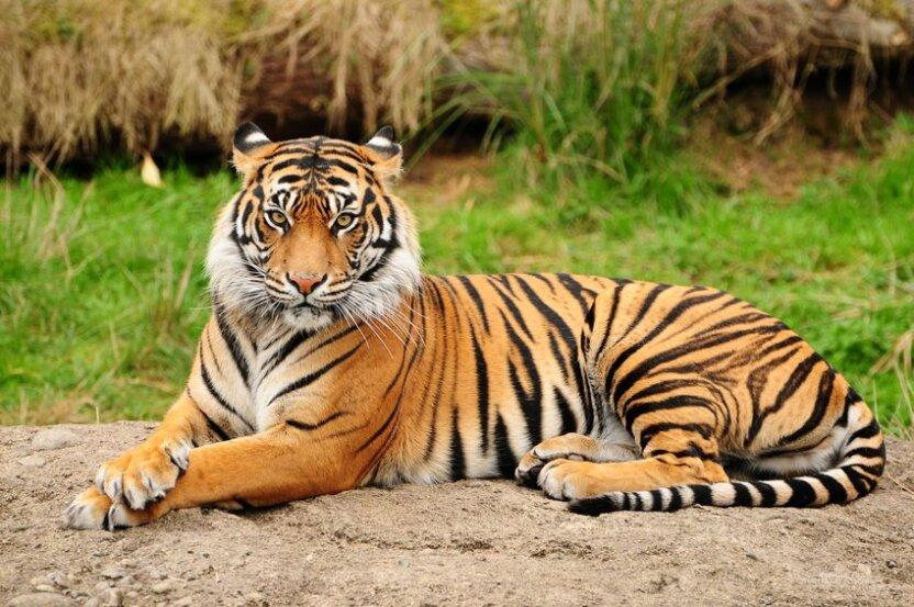 Тигр-воришка украл улов у рыбаков
