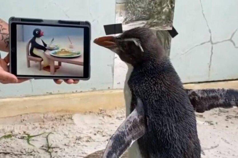 Одинокий пингвин увлекся просмотром мультиков