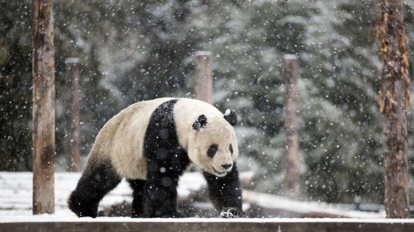 Как панды развлекаются зимой в московском зоопарке