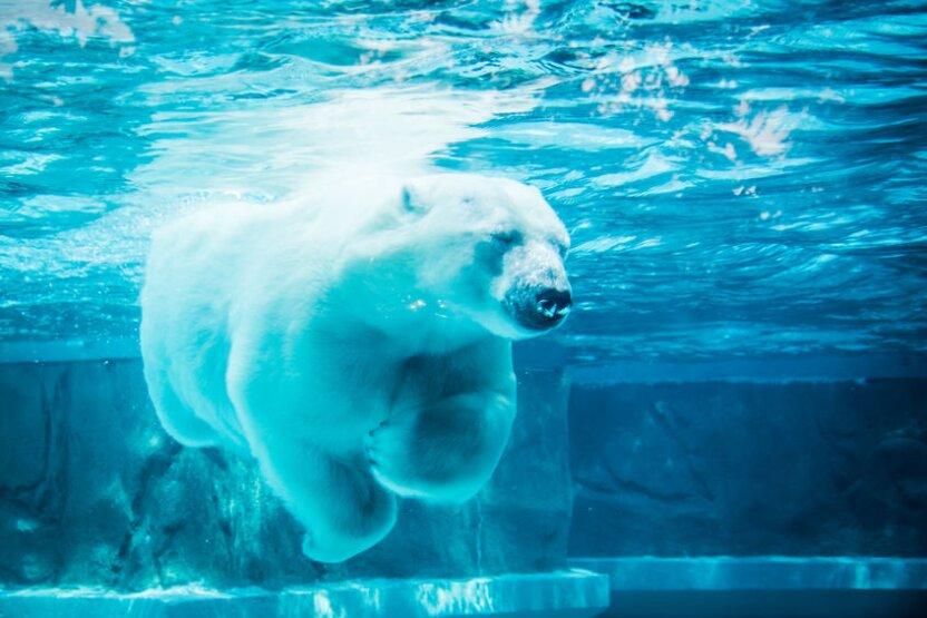 Выбираем имя для спасенного белого медведя