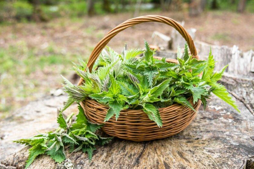 Зелёная красавица - тронешь, обжигается! Завтра в Туле пройдет  Фестиваль Крапивы