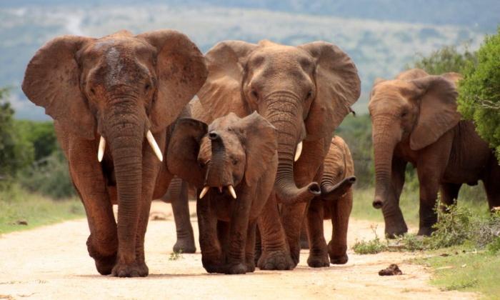 В Интернет попало трогательное видео спящих слонов-путешественников