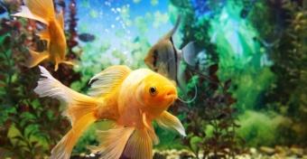 Золотые рыбки не только исполняют желания. Они, оказывается, еще и вредят природе