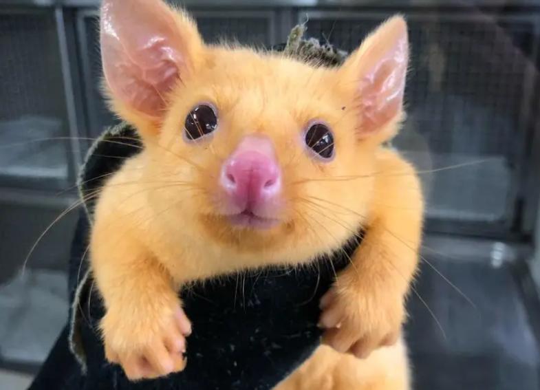 В Австралии обнаружили Пикачу