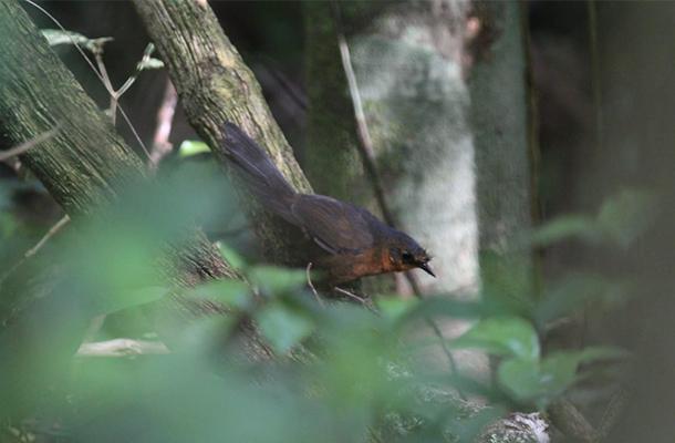 В Бразилии обнаружили самую редкую птицу в мире
