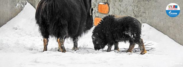 В Московском зоопарке появился овцебычок